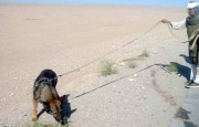 Mine Detection Dog in Afghanistan searching the area for the presence of landmines