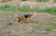 Mine Detection Dog (MDD) searching for landmines